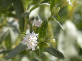 Fiori di Stevia rebaudiana