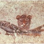 Pesce e pane eucaristico. Particolare di pittura su parete. Complesso di San Callisto.  Cripta di Lucina. Roma, inizio III secolo